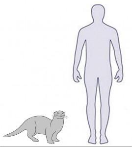 Human - otter size