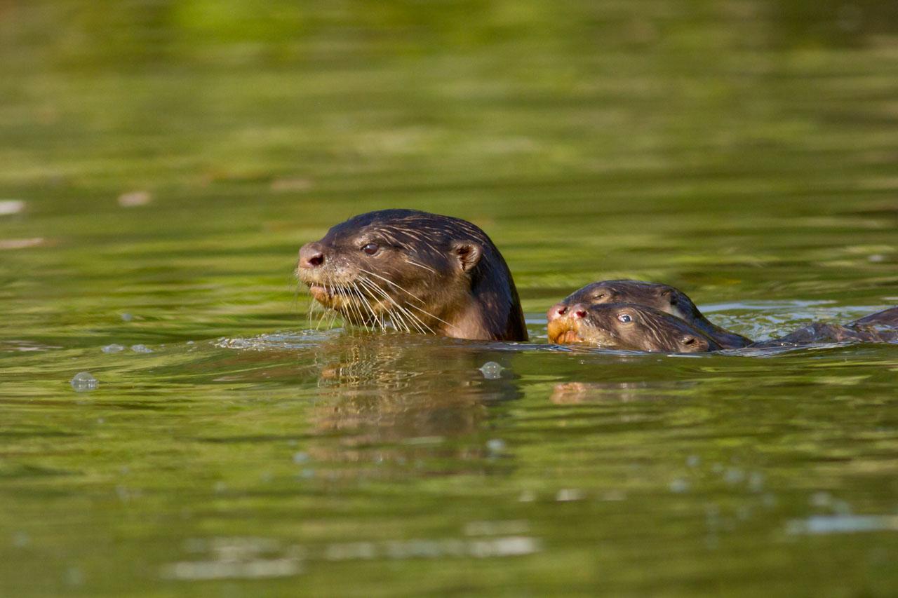 Otter-8810