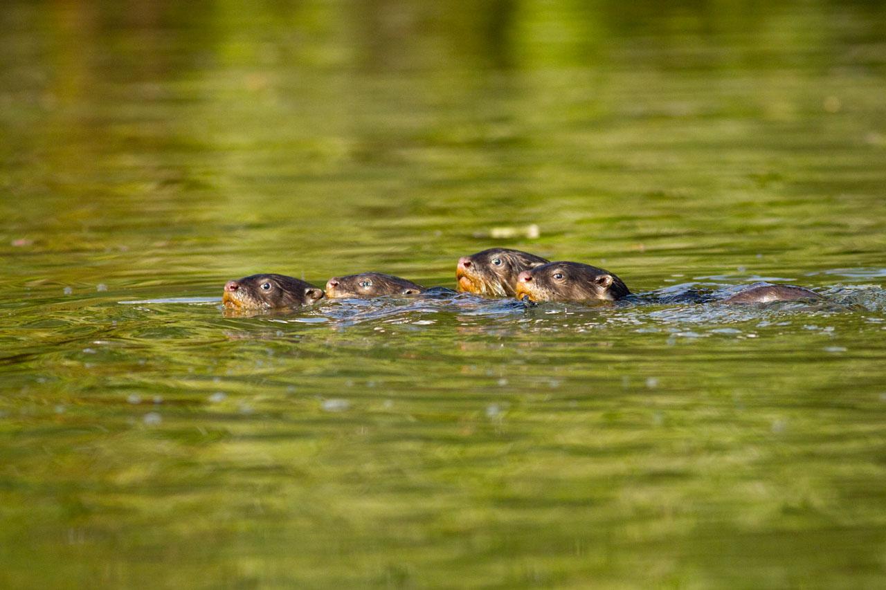 Otter-8846