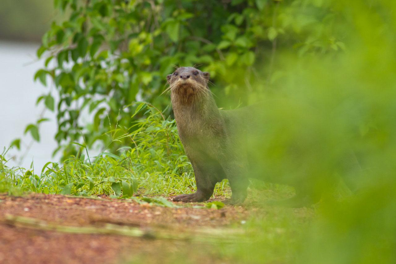 Otter-9012