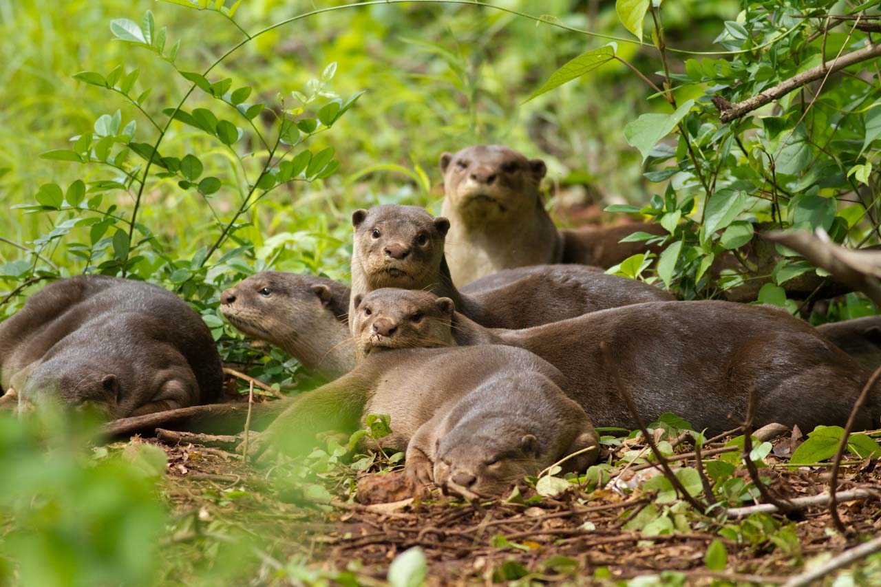 Conservation of otter habitats in Goa