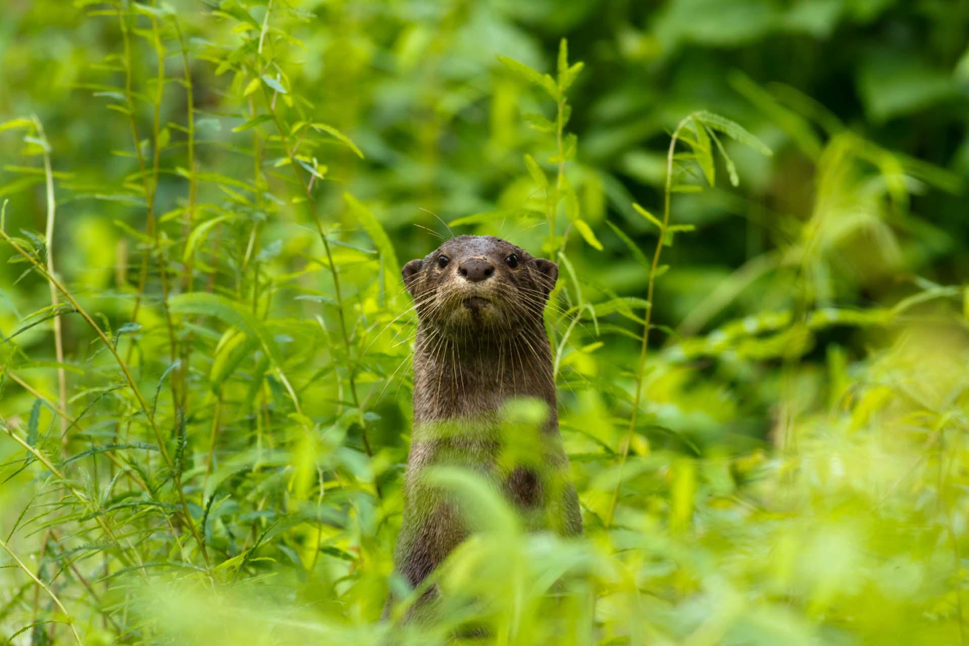 Otter-9357